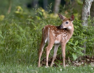 A fawn in Shenandoah National Park. Posted on Tumblr by the US Department of the Interior, 4/21/16.