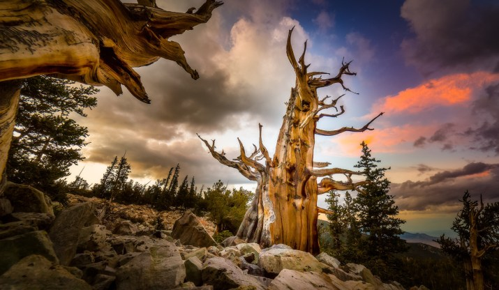 In the shadow of Wheeler Peak at Great Basin National Park in Nevada, ancient bristlecone pine trees grow on rocky glacial moraines – creating a surreal and beautiful landscape. Bristlecone pines are the world's longest living tree. At Great Basin, a 4,900+ year old tree was removed from the Wheeler Peak grove in 1964. Photo of Bristlecone Pine at sunset by Kelly Carroll, National Park Service. Posted on Tumblr by the US Department of the Interior, 5/8/16.