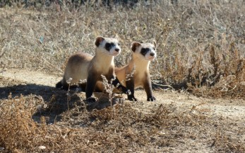 Black-footed ferrets -- agile creatures with masked faces and droopy whiskers -- once roamed the prairies in 12 western states, stretching from Canada to Mexico. A pair of young black-footed ferrets in the wild. Photo by Ryan Moehring, U.S. Fish and Wildlife Service. From the US Department of the Interior Blog.