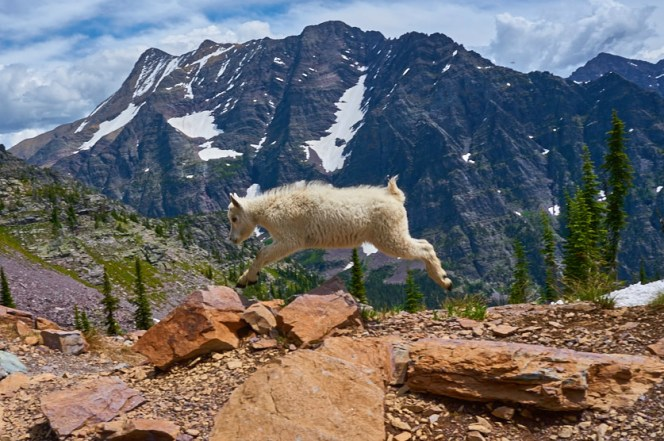Found on western public lands like Glacier National Park in Montana, mountain goats like this young one thrill visitors with their acrobatic feats. Often seen on steep, rocky slopes, they easily balance on rocks and scramble down cliffs in search of tasty grasses, mosses and lichens. Photo by Steve Muller. Posted on Tumblr by the US Department of the Interior, 8/5/16.