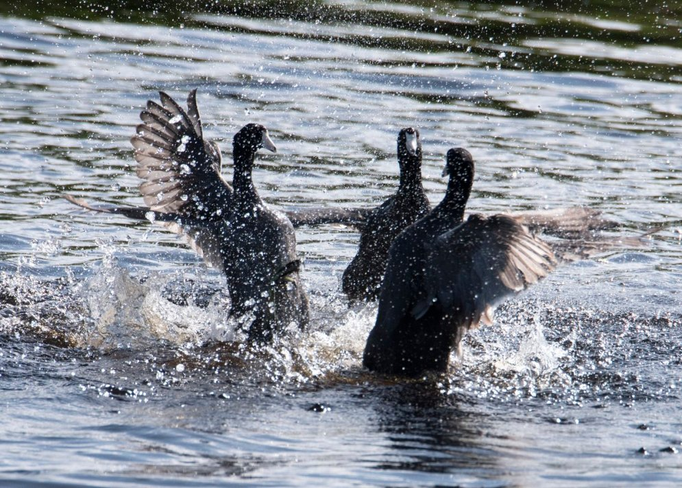 The fight is on between these coots from the 2016 Bear River Photo contest. Photo by Velvet Shearer / USFWS. Tweeted by the US Fish & Wildlife Service, 11/30/16.
