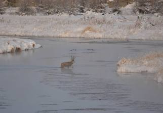 Some winter commutes are wet. And cold. This mule deer is headed for a drier destination! Posted on Facebook by the US Department of the Interior, 11/22/16.