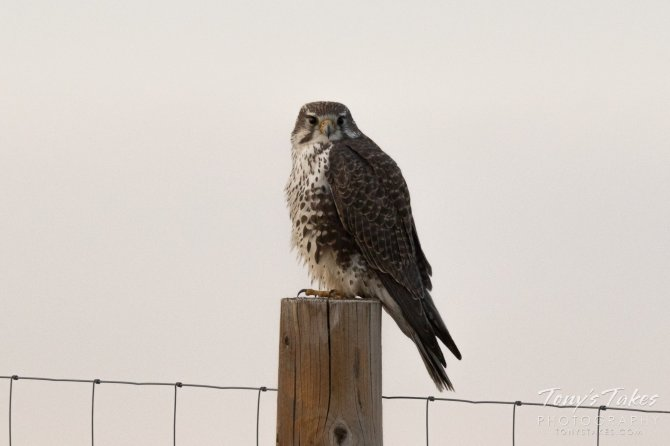 A Prairie Falcon puffs up against the cold on a chilly morning at the Rocky Mountain Arsenal National Wildlife Refuge. Tweeted by the US Department of the Interior, 12/5/16.