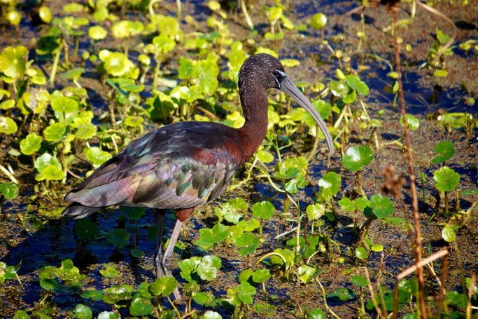 A glossy ibis at Pelican Island National Wildlife Refuge in Florida. Photo by Keenan Adams, U.S. Fish and Wildlife Service. From the US Department of the Interior blog.