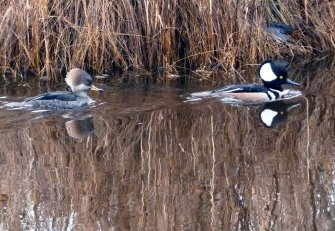 Hooded Mergansers winter at the Chincoteague National Wildlife Refuge. In the spring, these tiny diving ducks head for forested wetlands to nest in tree cavities. Tweeted by the Chincoteague NWR 3/19/17.