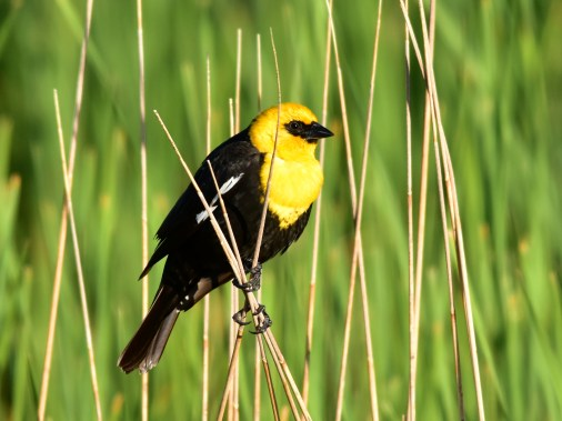 Yellow-headed blackbird on Seedskadee National Wildlife Refuge. Photo by Tom Koerner/USFWS. Taken on 6/8/17 & posted on Flickr by the US Fish & Wildlife Service.