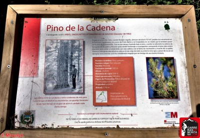 pino de la cadena rutas cercedilla sierra de guadarrama (21)
