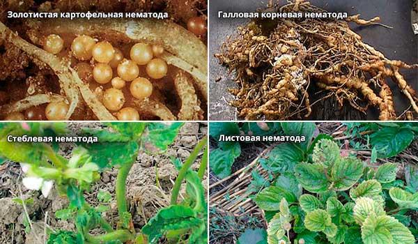 Химические препараты от нематоды в почве. Нематоды