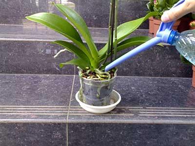 Tưới hoa lan-phalaenopsis-ảnh