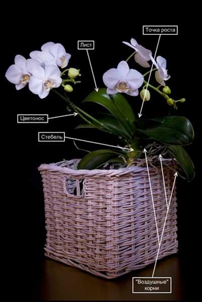 Орхидеяның құрылысы-фотосурет