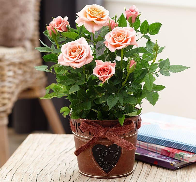 Фото комнатной розы