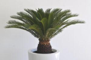 Пальмовые или какие пальмы можно выращивать в домашних ...