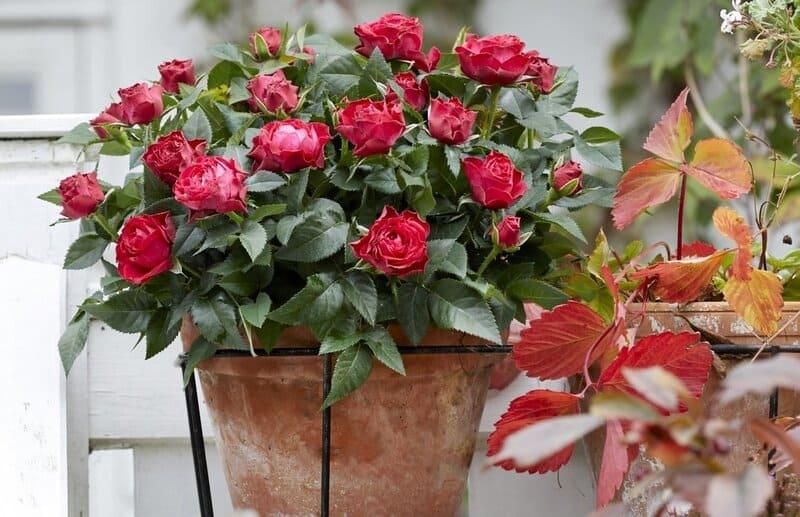 Фото розы анжела рипон