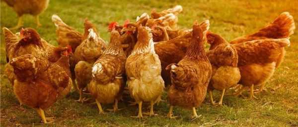 Куриный помет как удобрение: как разводить и применять для ...