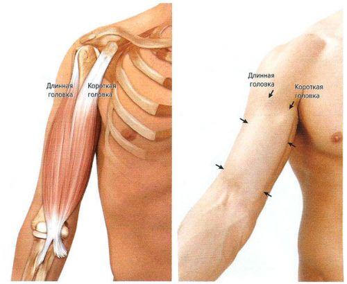 К мышцам плеча относятся