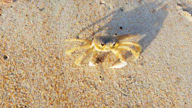 crab on Flagler beach