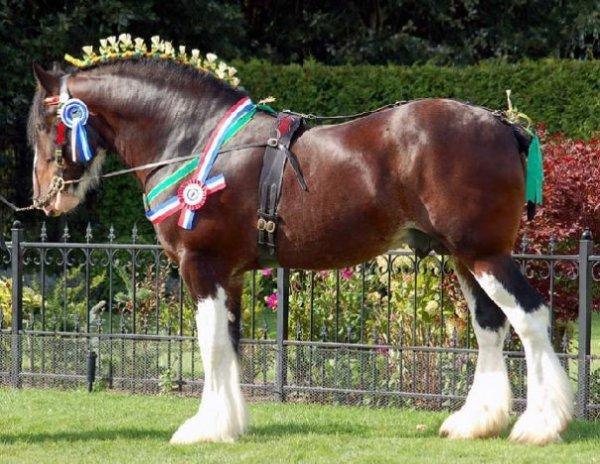 Самые большие лошади мира. Фото - Мой Конь