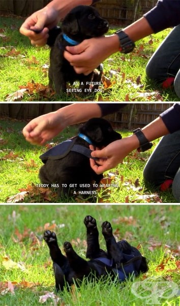 Бъдещо куче водач на слепи хора, което трябва да се научи да носи специален повод и каишка