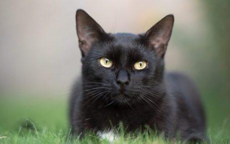 Hlavolamové přísloví - Savec čeledi felis