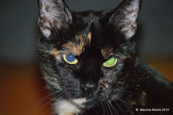 Cat with one blue eye and one green eye.