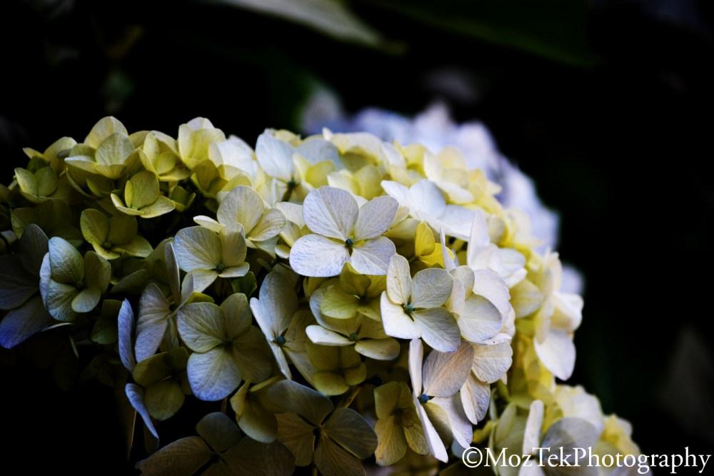 Macro Photography,Hydrangea Flower in Rwanda. (1/6)