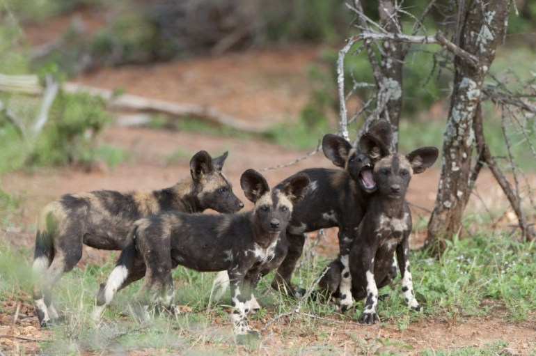 A group of four African wild dog pups.