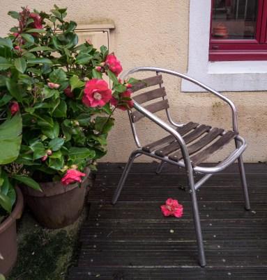 La pluie n'épargne pas les premières fleurs de camélia.