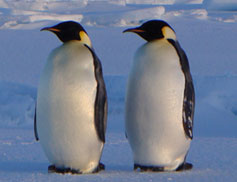 twin_penguins.jpg