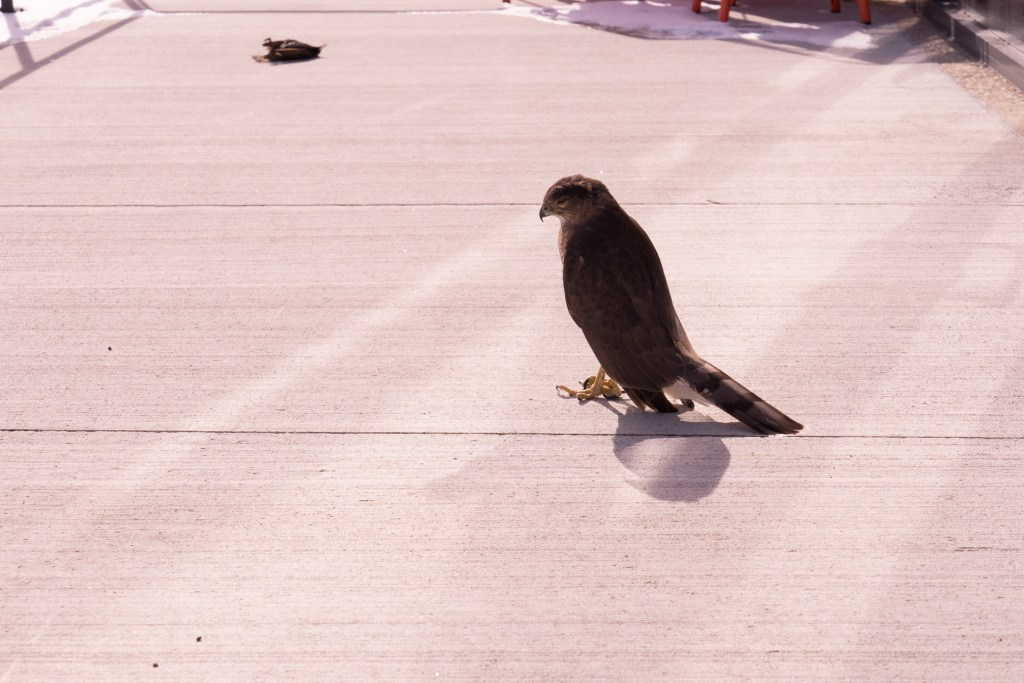1/250 @ f/11 ISO 200. The hawk seemed to have lost her appetite after the impact.