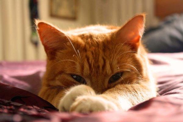 Un chat de salon bien implanté dans son foyer
