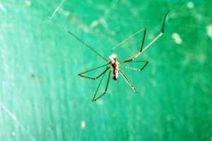 паук Pholcidae - шелк стал еще прочнее!