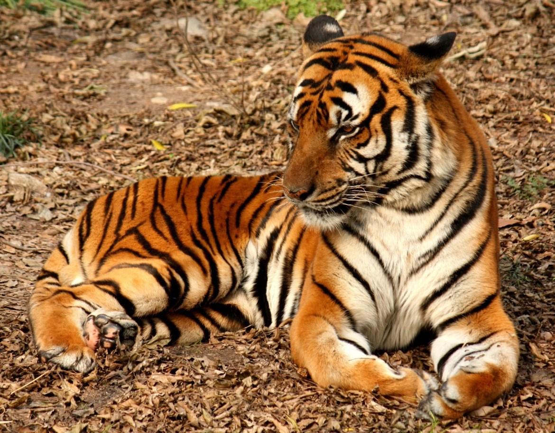 Drunk-Ladys-Hand-Got-Missing-After-She-Broke-into-Zoo-to-Pet-Tiger Drunk Lady's Hand Got Missing After She Broke into Zoo to Pet Tiger