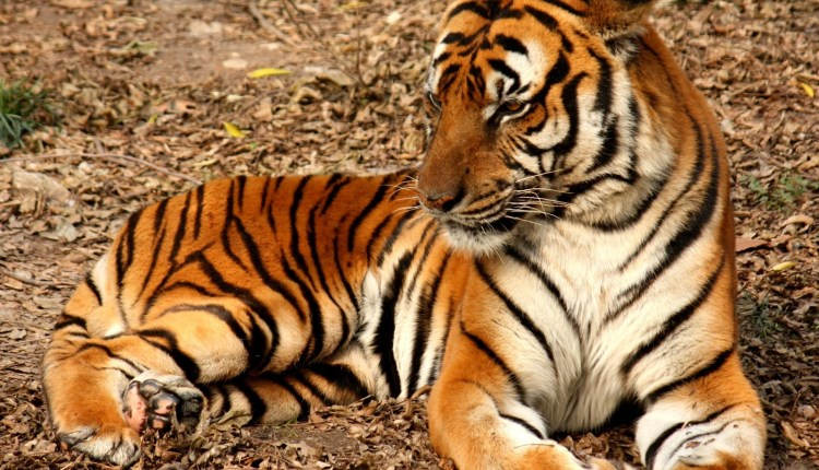 Drunk Lady's Hand Got Missing After She Broke into Zoo to Pet Tiger