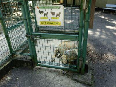 大牟田市動物園_羊