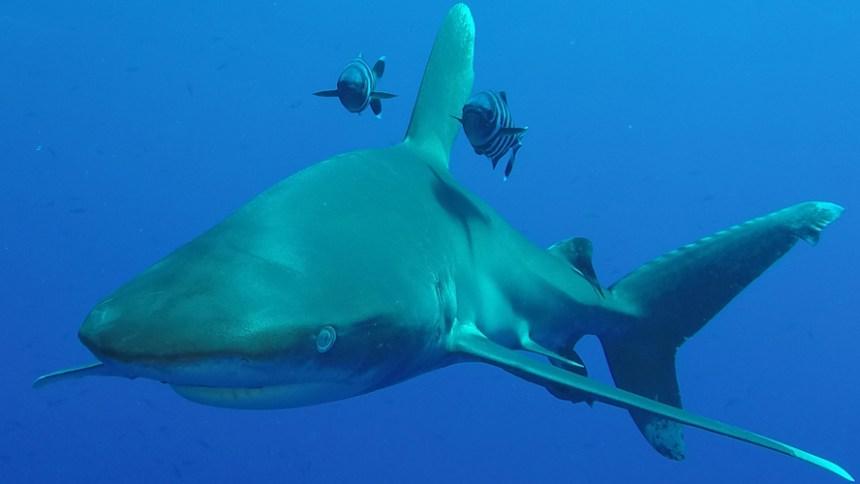 Longimanus shark