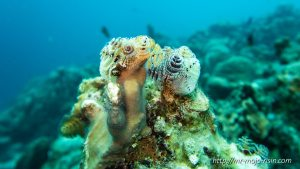 Christmas tree worms and a hairy seastar on a hard coral