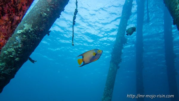 A queen angel fish and a french angelfish at the Salt Pier