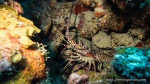 A spiny lobster hiding in a cave during a nightdive on tropical Bonaire island
