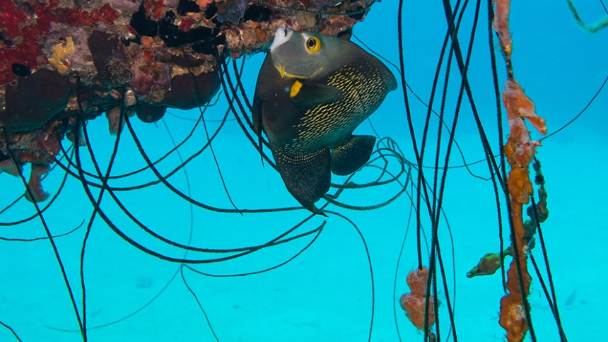 French Angelfish at the Hilma Hooker