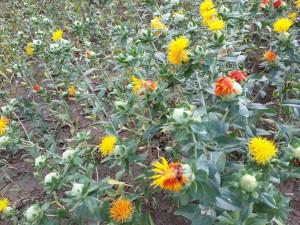 В этом году небольшое опытное поле сафлора можно было наблюдать, проезжая аллею по дороге в Кузьмичевское и Новожизненское сельские поселения