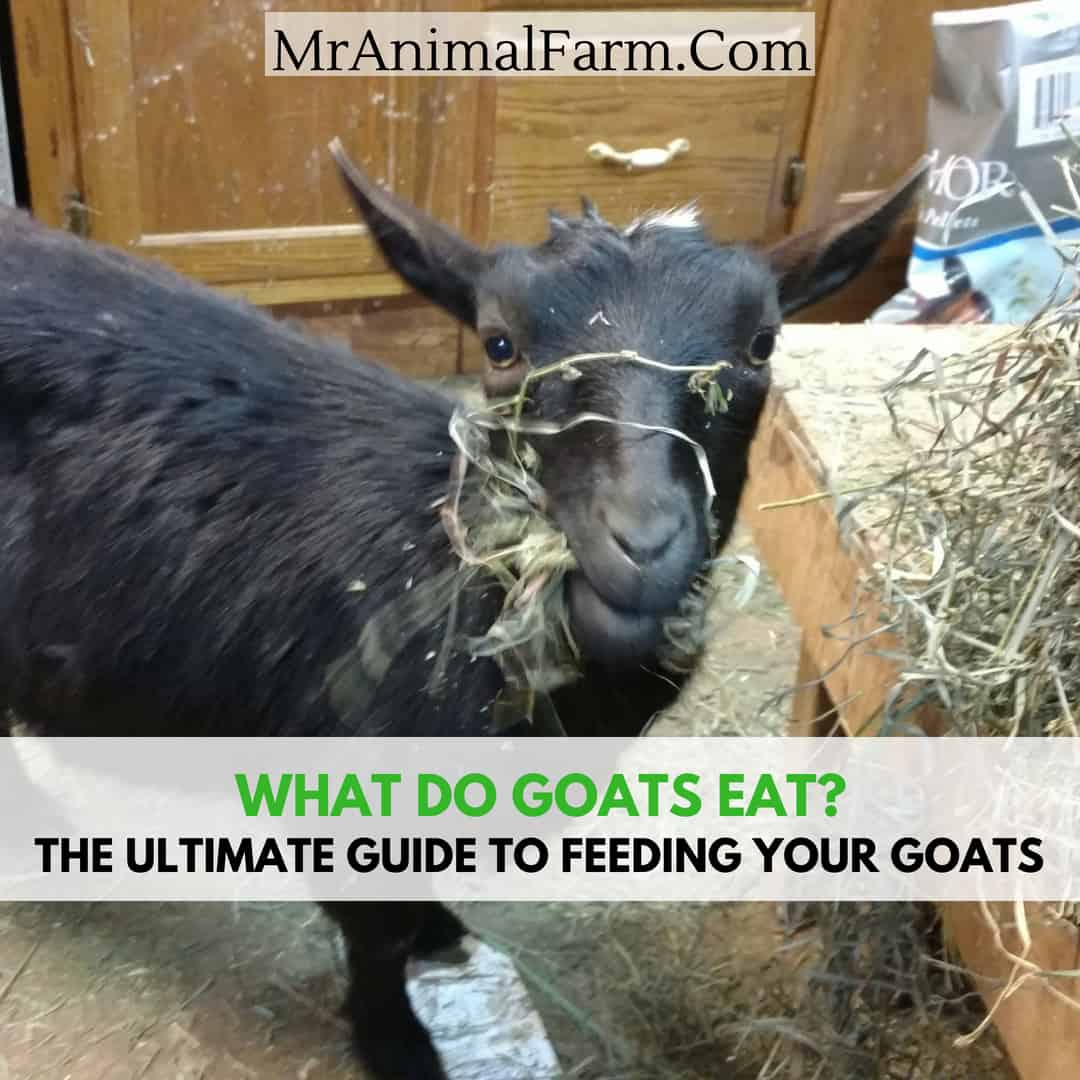 What Do Goats Eat A Guide To Feeding Your Goats