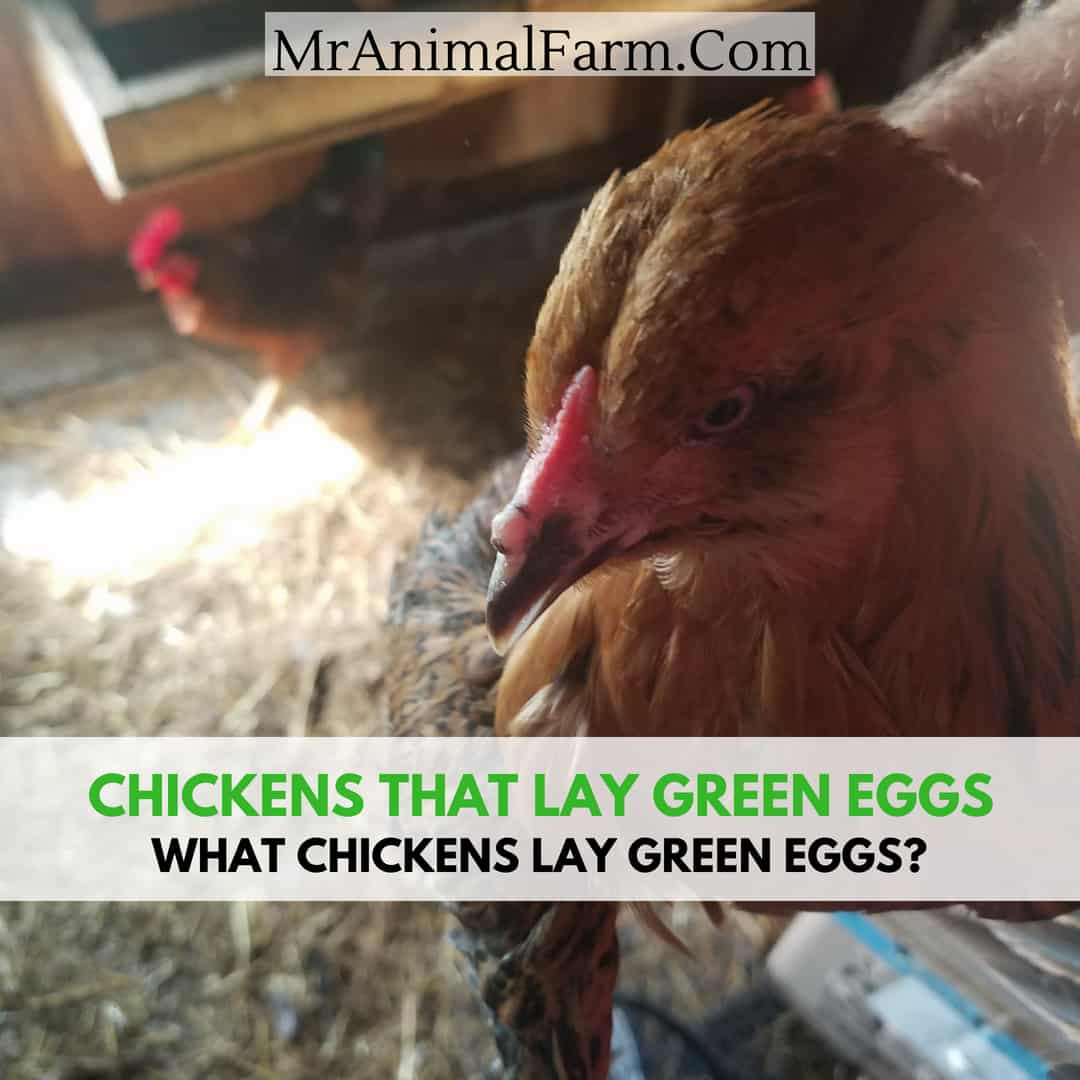 Chickens That Lay Green Eggs