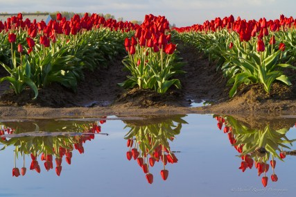 tulips reflected in water