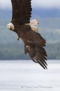 bald eagle banking left