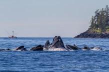 humpback whales group feeding