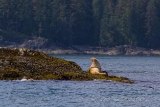 Sea Lion in southeast Alaska