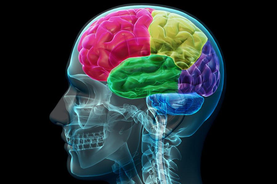Visitons votre cerveau: hémisphères et lobes cérébraux