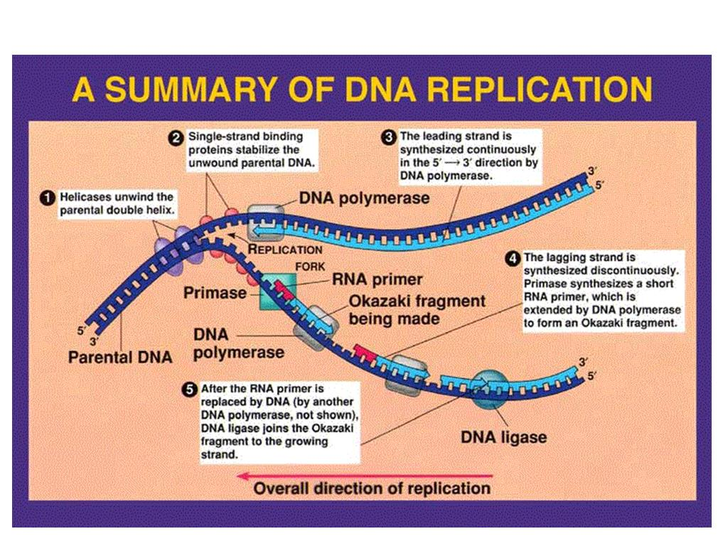 Week 22 Dna Replication And Protein Synthesis
