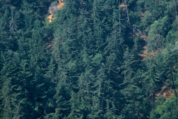 East Canyon Firs