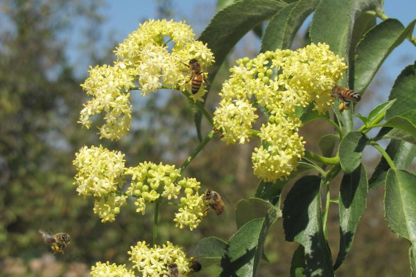 Sambucus-flowers-with-bees-view